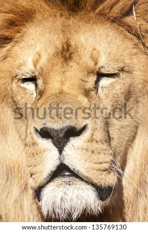 Lion head close up portrait