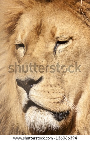 Lion head close up portrait - stock photo