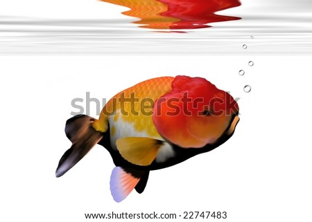 LION-HEAD GOLDFISH