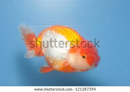 Lion Head Goldfish isolated on Blue screen - stock photo