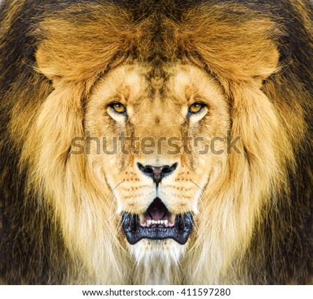 Lion head portrait. Male African Lion (Panthera leo) portrait. Beautiful Mighty Lion.