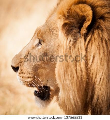 Lion Head Side Profile Stock Photo 137565533 - Shutterstock