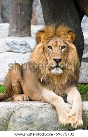 Lion in Chaingmai zoo Thailand