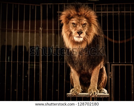 Lion in circus cage - stock photo