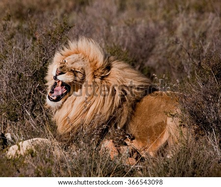 Lion in Kruger park, South Africa - stock photo