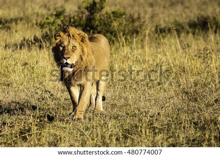 Lion in Masai Mara