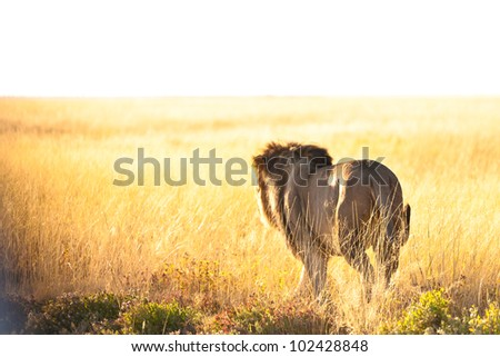 Lion in namibia - stock photo