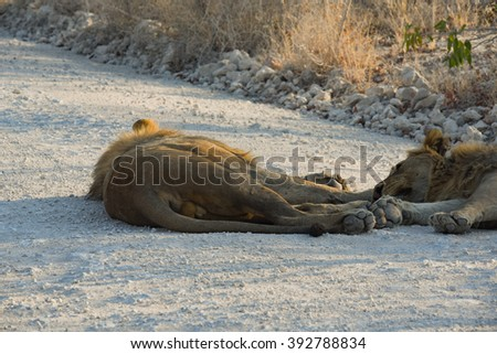 Lion in Namibia Africa