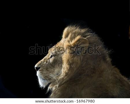 Lion sitting profile - photo#36