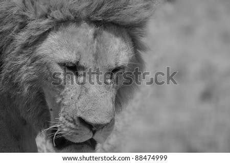 Lion in Serengeti hosts the largest mammal migration in the world, which is one of the ten natural travel wonders of the world. It is located in north Tanzania and extends to south-western Kenya