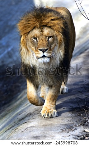 Lion in the African savannah Masai Mara - stock photo
