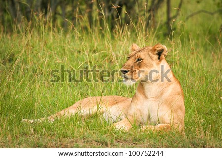 Lion in the grass, Masai Mara, Kenya - stock photo