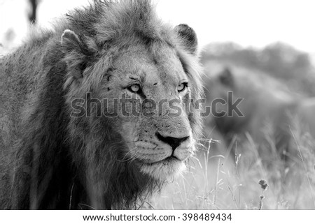 lion in the kruger national park south africa - stock photo