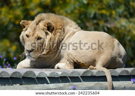 lion in the morning sun - stock photo