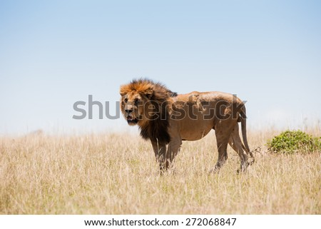 Lion in the savanna of Africa