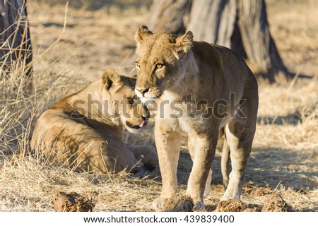 Lion in the wild,Kenya, Africa - stock photo