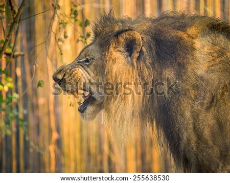 Lion in the zoo. - stock photo