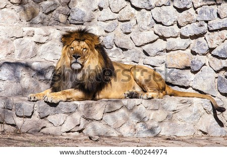 Lion in the zoo - stock photo