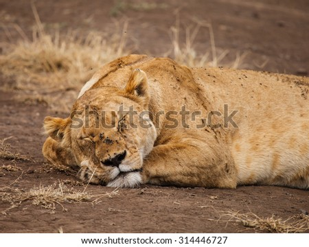 Lion in wildlife Tanzania Kenya