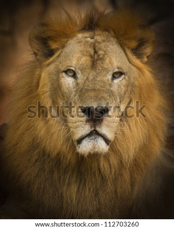 Lion is a fierce and formidable beasts - stock photo