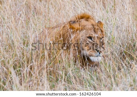 Lion is hunting in the grass in Kenya - stock photo