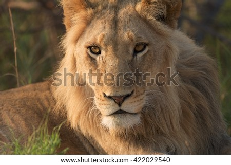 Lion juvenile in the Kruger National Park, South Africa. - stock photo