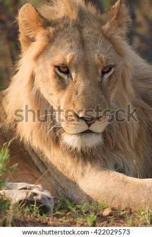 Lion juvenile in the Kruger National Park, South Africa.