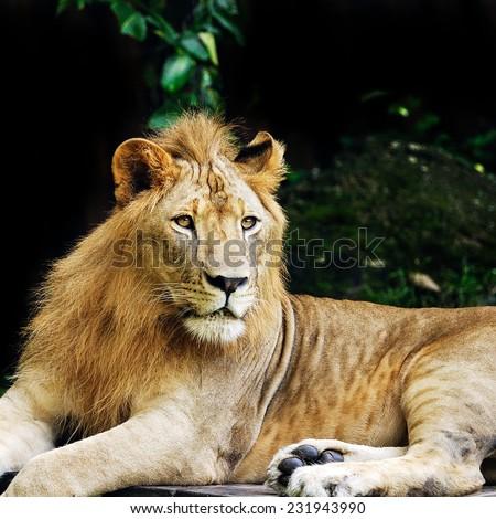 Lion king. - stock photo