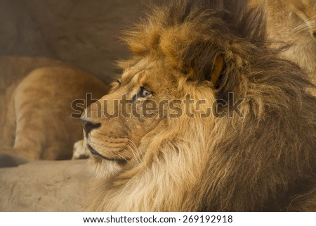 lion king of beasts. the most formidable predator on land. - stock photo