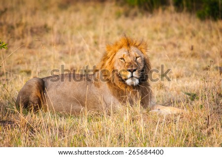 Lion, king of the jungle, in Kenya - stock photo