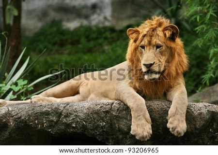 Lion laying on a rock.