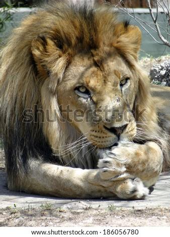 Lion Licking Paw - stock photo