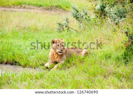 Lion lies in the grass near the pond, Kenya - stock photo