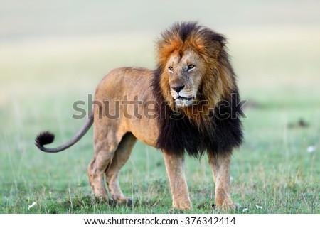 Lion Lipstick in the savannah of Masai Mara, Kenya - stock photo