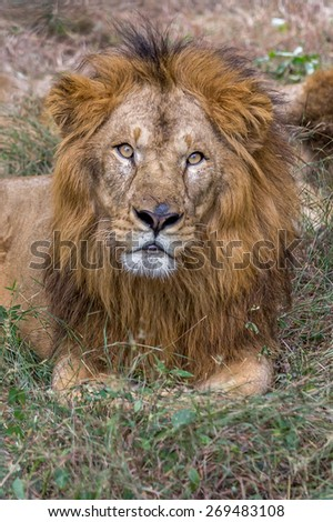 Lion looking at camera