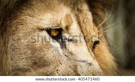 Lion looking right - stock photo