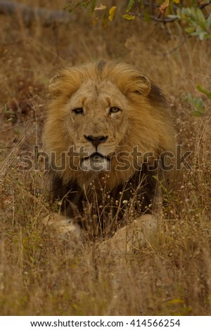 Lion - Looking through the grass (Panthera leo)
