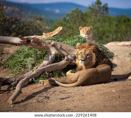 lion lying down looking at camera - stock photo