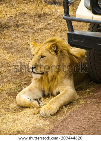 Lion lying in front of the jeep as a guard - stock photo