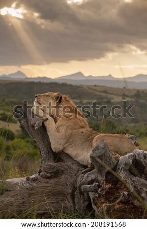 Lion lying on dead tree stump - stock photo