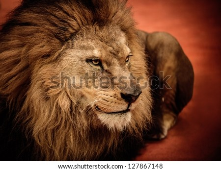 Lion lying on the arena - stock photo