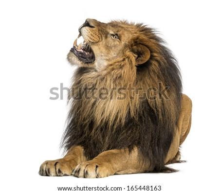 Lion sitting profile - photo#41
