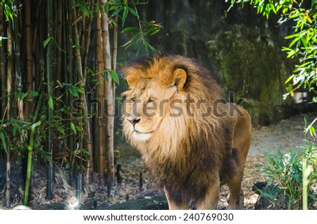 lion male at the zoo - stock photo