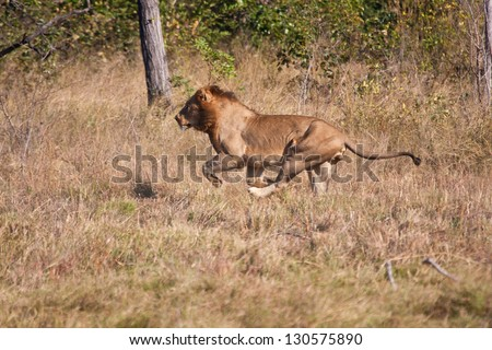Lion male hunt run fast in brown grass chase - stock photo