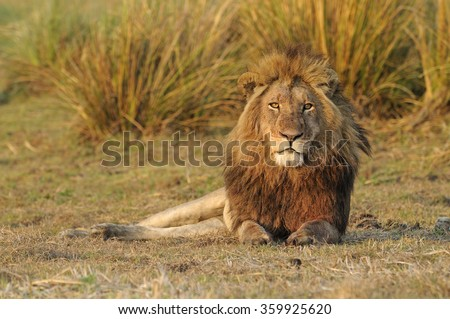 Lion male (Panthera leo) resting in Busanga Plains of Kafue National Park, Zambia - stock photo