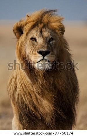 Lion male with large mane, Serengeti, Tanzania - stock photo