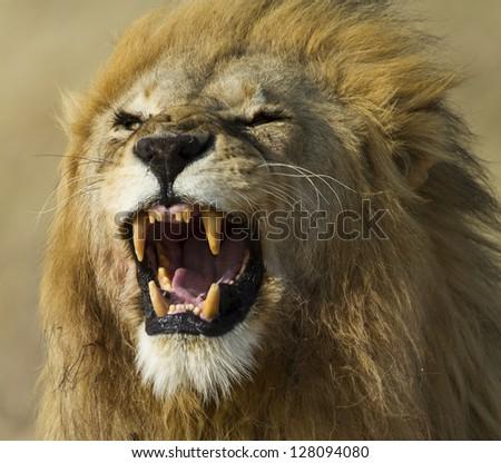 Lion male yawning, Serengeti National Park - stock photo