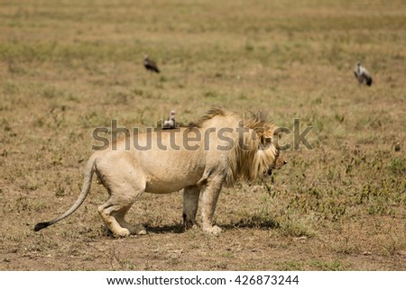 Lion marking his territory