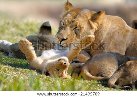 Lion mother and cub - stock photo