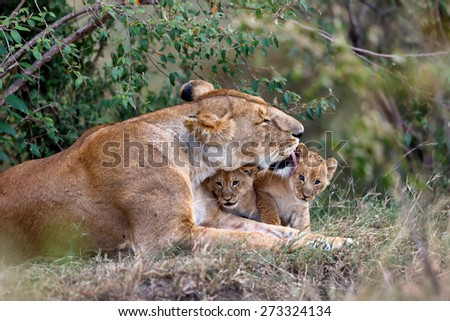 Lion mother cleans her babies in Masai Mara, Kenya - stock photo